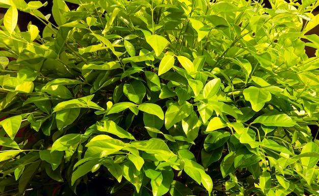 Liście syzygium polyanthum o nazwach zwyczajowych indyjski liść laurowy i indonezyjski liść laurowy