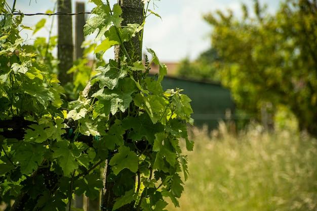 Liście szczegółowo winnicy na wiosnę na wsi