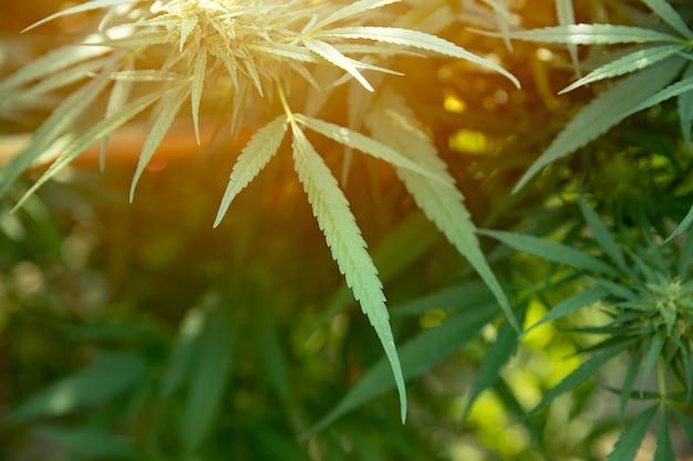 Liście tajskiej marihuany, nielegalna roślina konopi lub konopi.