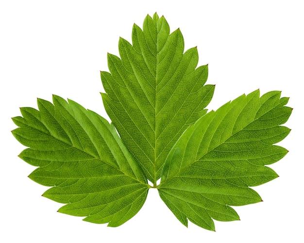 Liście truskawki na białym tle. zielony świeży liść. zielnik.