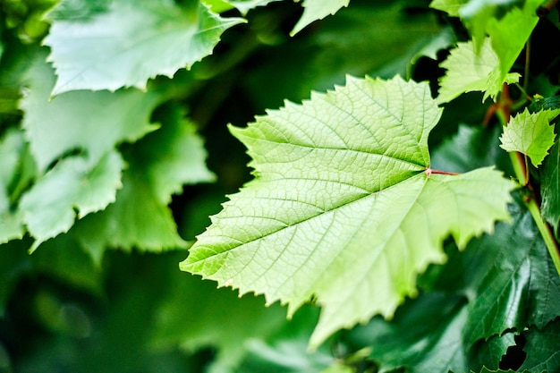 Liście winogron. zielone liście winorośli w słoneczny dzień września w winnicy.