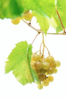 Liście winogron