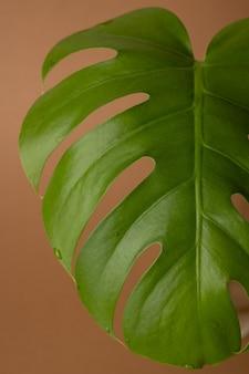 Liście zielone monstera lub monstera deliciosa na brązowo