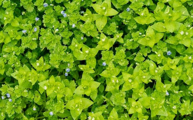 Liście zielone tło z małymi niebieskimi kwiatami. natura do projektowania. poranne tło na łące, na trawie i kwiatach kropli rosy.