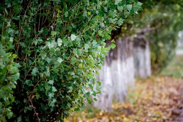 Liście zielone topoli na suchych brązowych liściach na ziemi jesienią