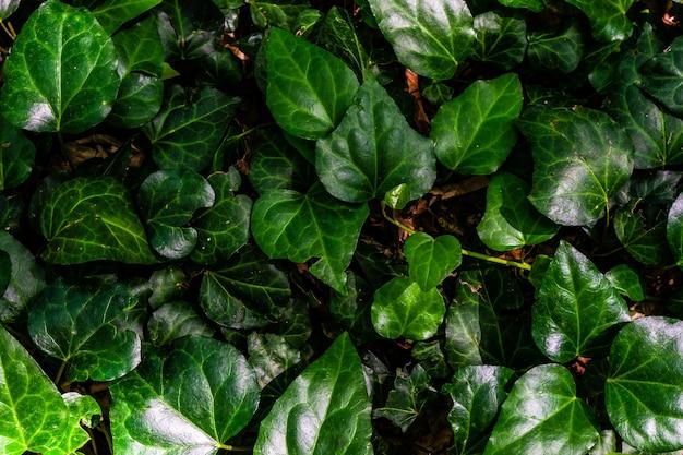 Liście zielonego bluszczu