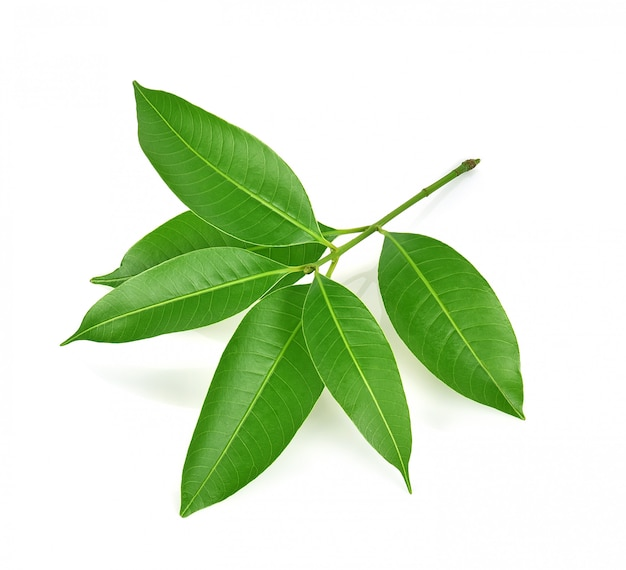 Liście zielonej śliwki marianowej na białym tle