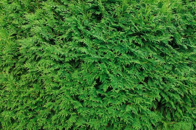 Liście zielonej tui