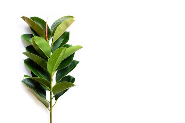 Liście zielonych roślin gumowych.