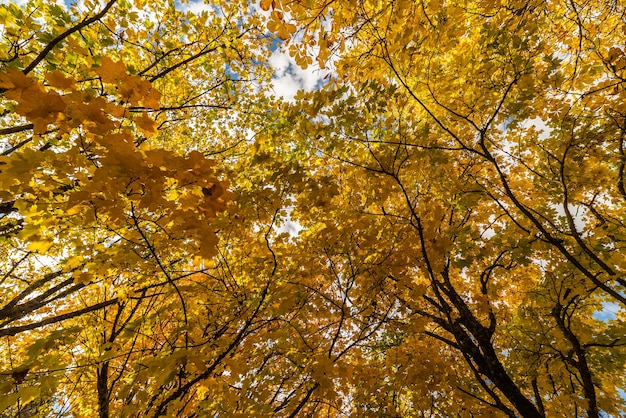 Liście żółtawo-miedziane o typowych jesiennych kolorach