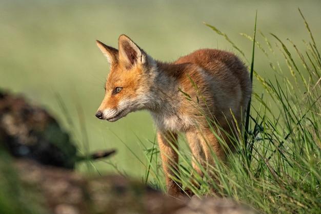 Lisiątko. młody red fox w trawie w pobliżu jego dziury.