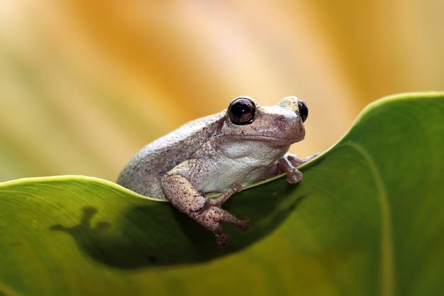 Litoria różyczka rzekotka drzewna na zielonych liściach zbliżenie australijskiej żaby drzewnej na zielonych liściach