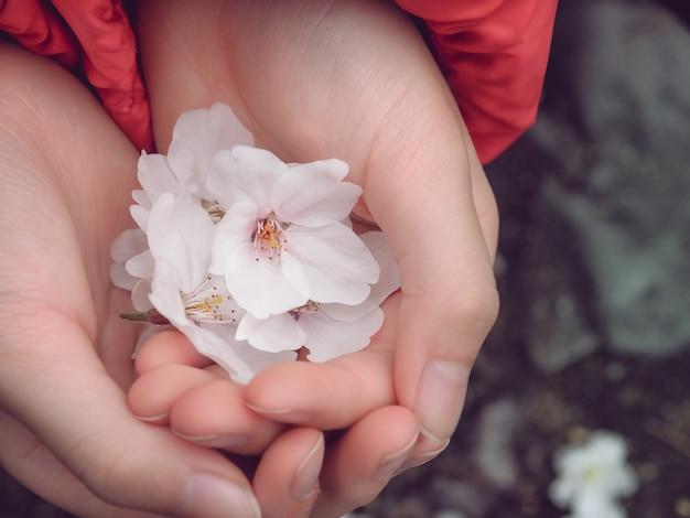 Little beautiful sakura flowers in hand