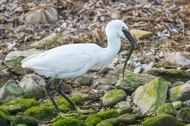 Little egret jedzenie węgorza w rzece ze skałami z zielonym mchem, hiszpania.