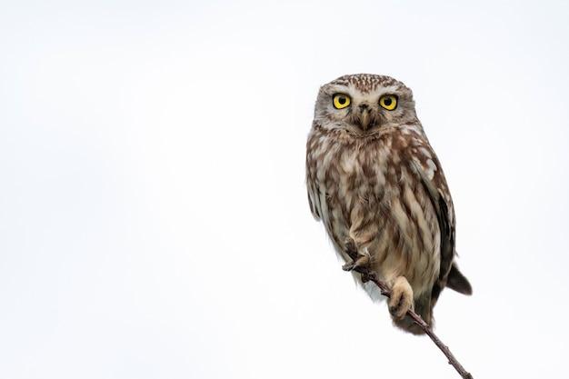 Little owl, athene noctua, siedzący na gałęzi