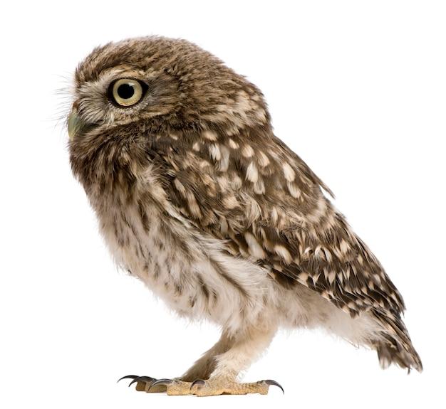 Little owl athene noctua, stojąc