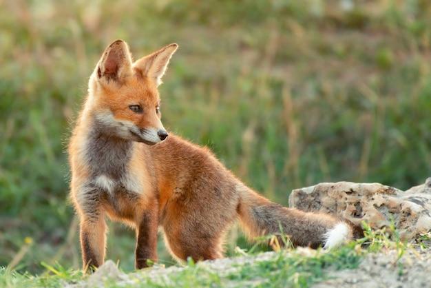 Little red fox w pobliżu jego dziury.