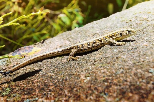 Lizard na skale.
