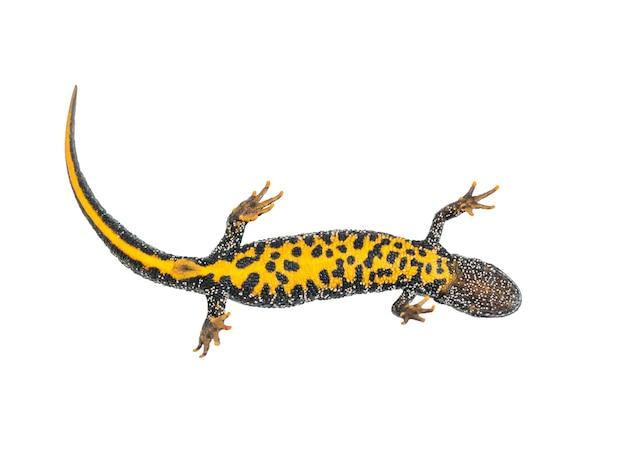 Lizard triton z jasnym żółtym brzuchem na białym tle. zdjęcie gada.