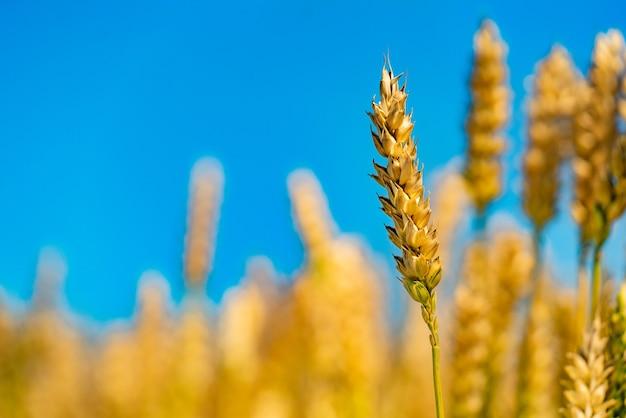 Łodyga dojrzałej pszenicy jest w polu na tle błękitnego nieba w lecie.
