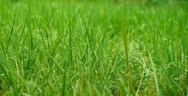 Łodyga ryżu na polu.
