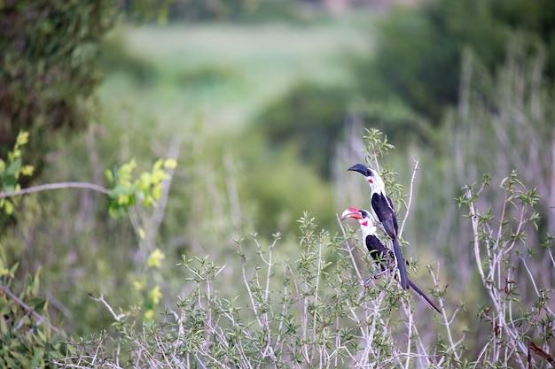 Lokalne kenijskie ptaki na zielonym krzaku