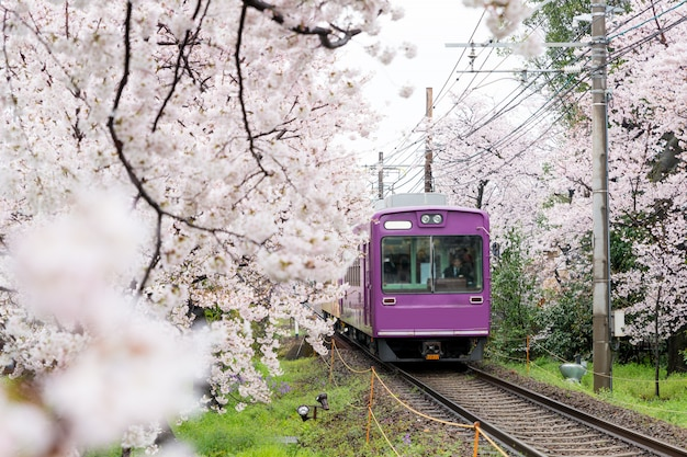 Lokalny pociąg podróżujący po torach kolejowych z kwiatami wiśni wzdłuż linii kolejowej w kioto w japonii.
