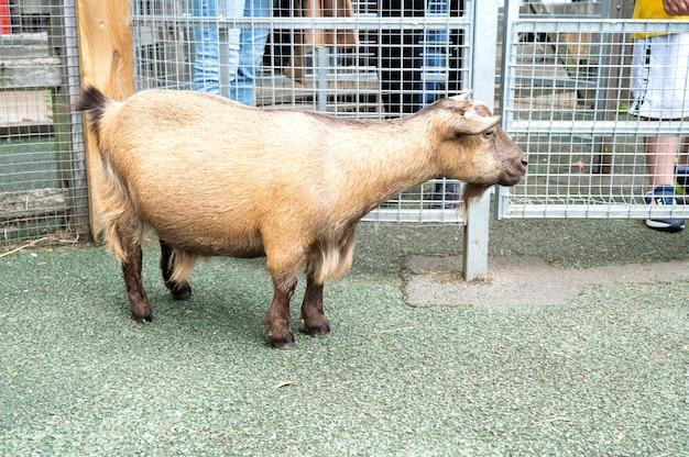 Londyn, anglia – 22 lipca 2021 r.: owca lub koza w interakcji z gośćmi w londyńskim zoo, farma dla dzieci