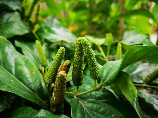 Long pepper to przyprawa, która wykorzystuje przyprawy. i składniki starożytnej medycyny.