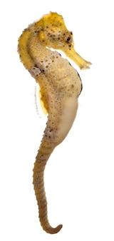 Longsnout seahorse przed białym tłem