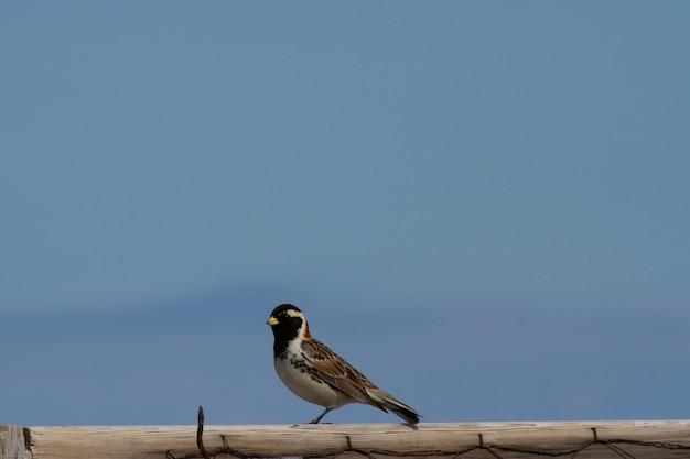 Longspur laponia siedzi na słupku nad błękitnym niebem z miejscem na kopię