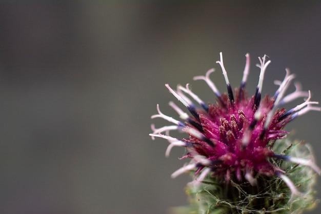 Łopian cierniowaty fioletowy kwiat. kwitnący łopian roślin leczniczych