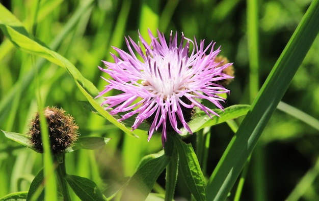 Łopian ciernisty fioletowy kwiat, zielone pąki i liście w ogrodzie ziołowym. kwitnąca roślina lecznicza łopian arctium lappa, łopian większy, łopian jadalny, guziczki żebracze, zadziory cierniste, happy major.