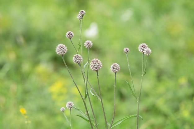 Łopianowy kwiat na zielonym gazonie.