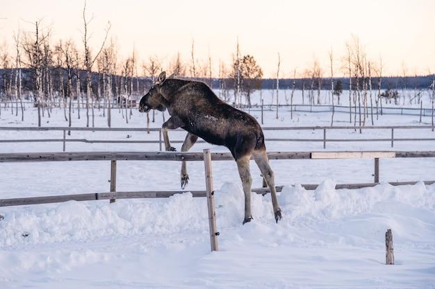 Łoś przeskakujący drewniany płot na północy szwecji