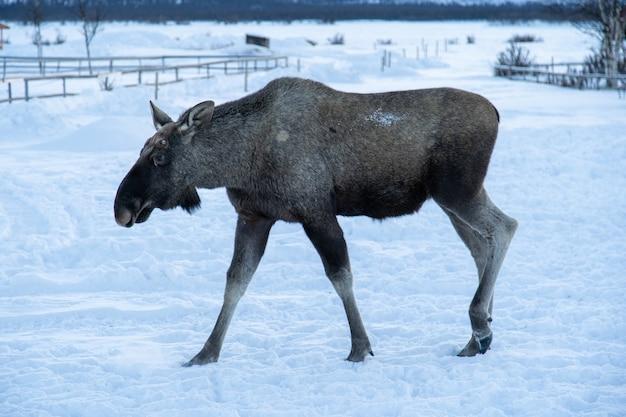 Łoś spacerujący po zaśnieżonym polu na północy szwecji