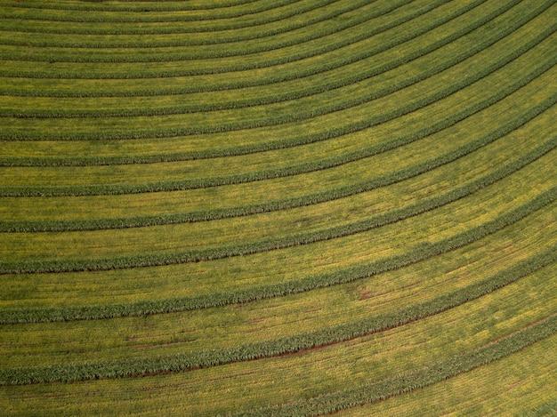 Lotnicze pole trzciny cukrowej w brazylii.