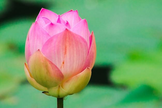 Lotos indyjski, święty lotos, fasola indyjska duży różowy kwiat z ciemnoróżowymi płatkami wewnętrznymi. podstawa kwiatu jest biała.