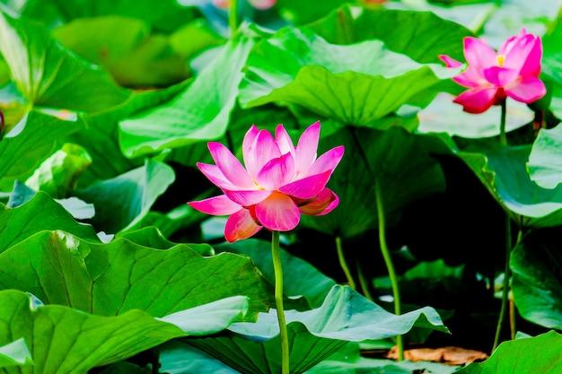Lotos, kwiat lilii wodnej różowy, nimfea na ciemnej wodzie.
