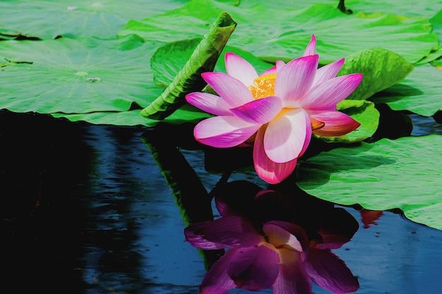 Lotos, kwiat różowy lilii wodnej, nimfeaea na tle ciemnej wody.