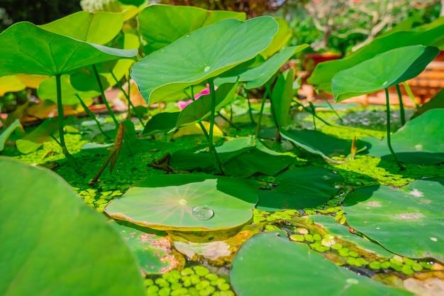 Lotos opuszcza na wodzie z rosa kroplami