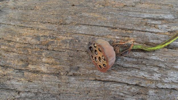Lotos suszony strąki nasion na kory drewna