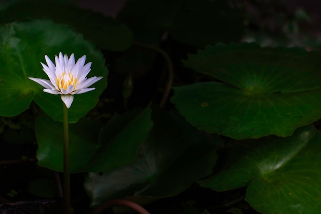 Lotos w doniczce. lotos kwitnący rano.