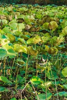 Lotosowe drzewo i liść lotosu w tle