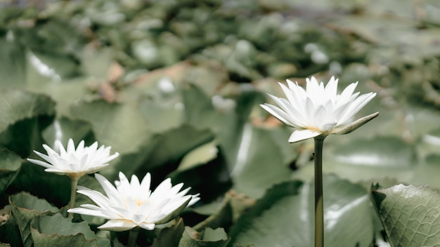 Lotosowego kwiatu rośliny i lotosowy kwiat w stawie symbol buddha, tajlandia.