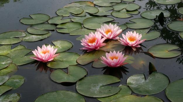 Lotosowy kwiat i lotosowego kwiatu rośliny