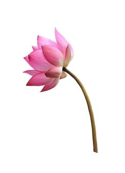 Lotosowy kwiat na białym tle