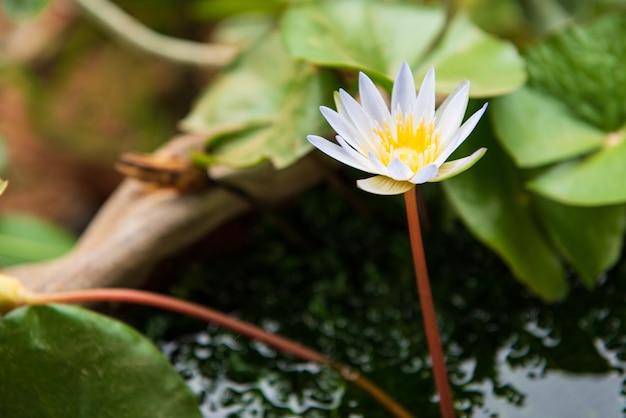 Lotosowy kwiat pięknie odizolowywający w stawie