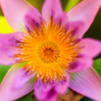 Lotosowy leluja kwiatu zakończenie up