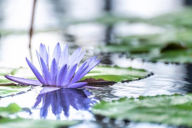 Lotosowy lilly kwiatu okwitnięcie na wodzie